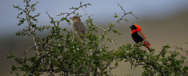 image of a pair of Red Bishops in a thorn bush