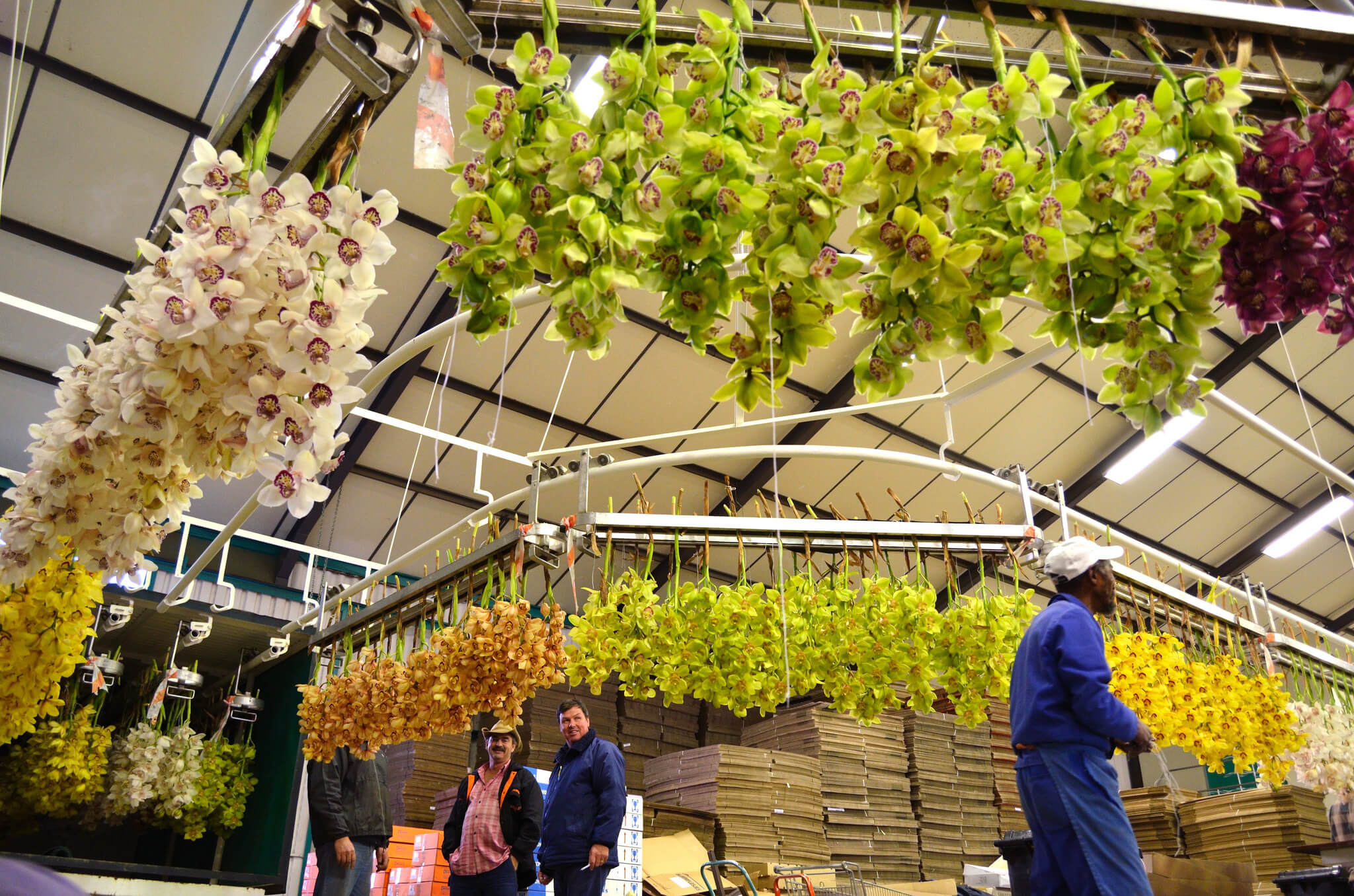 image of flowers being packaged for export by Duckitt Nurseries