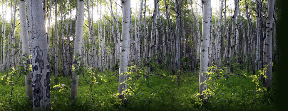 image of a glade of silver birch trees with the largest in focus